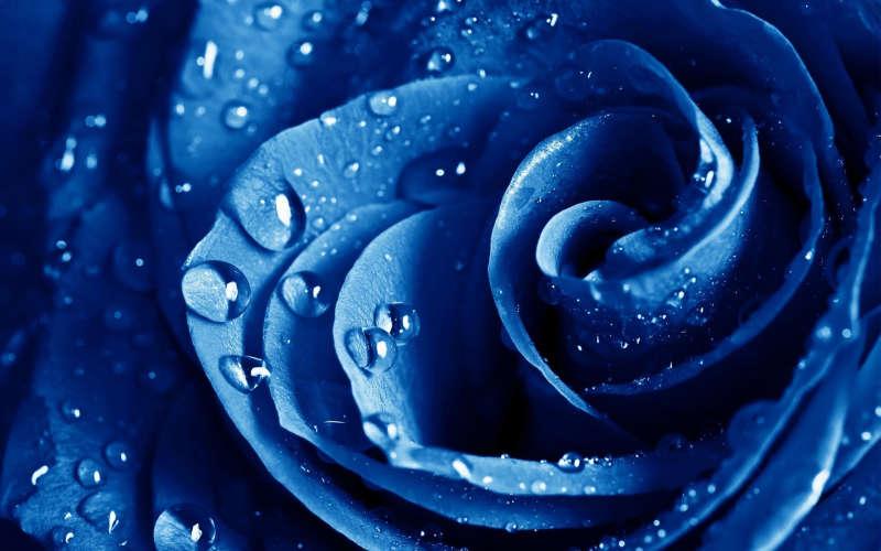 高清蓝色妖姬玫瑰花_蓝色傍水的玫瑰花图片jpg下载