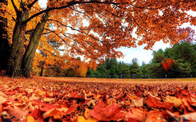 暖色的秋天大树下落叶背景图片素材