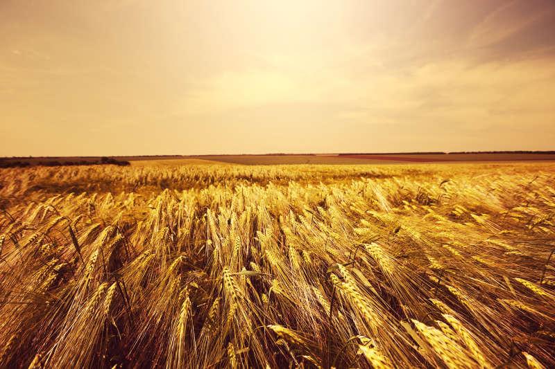 高清秋天麦子橙色大气商务背景图片